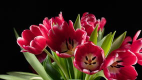 Bouquet of bright red tulips blooms stock video