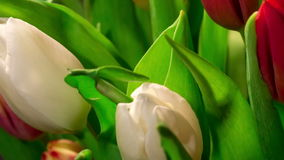 Bouquet of bright tulips blooms, macro. Moving stock footage