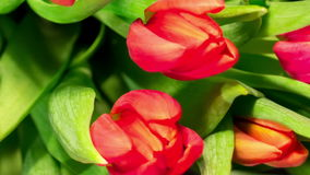 Bouquet bright tulips blooms. Bouquet of bright tulips blooms, macro moving stock footage