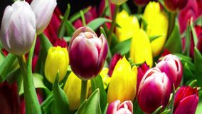 Bouquet of Bright Tulips Blooms. Timelapse stock video footage