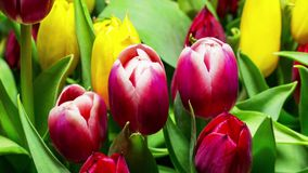 Bouquet of Bright Tulips Blooms. Timelapse stock footage