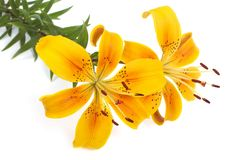 Bouquet of bright yellow flowers lilies isolated Stock Images