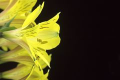 Bouquet of Bright Yellow Peruvian Lilies Royalty Free Stock Image