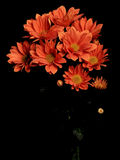 A bouquet of Calendula officinalis pink Royalty Free Stock Image