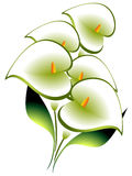 Bouquet of calla. Bouquet of calla on a white background Royalty Free Stock Photography