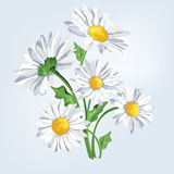 Bouquet camomile. Greeting card with flowers Stock Image