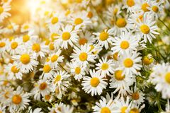 Bouquet of camomiles at sunlight. summer morning. Natural cute background. Royalty Free Stock Photos