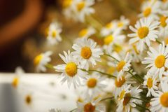Bouquet of camomiles at sunlight. summer morning. Natural cute background Royalty Free Stock Images