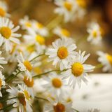 Bouquet of camomiles at sunlight. summer morning. Natural cute background. Stock Image