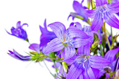 Bouquet of Campanula Stock Image