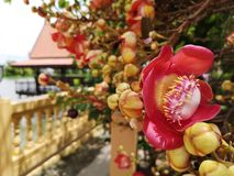 Bouquet Of Cannonball Tree Sala Flowers Blooming
