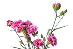 Bouquet of Carnation flowers isolated on a white background Royalty Free Stock Photography