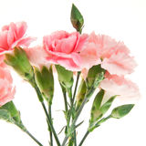 Bouquet of carnation isolated on white. Bouquet of pink carnation isolated on white background Royalty Free Stock Photos