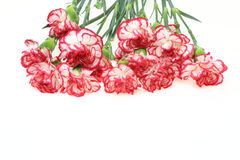 Bouquet of carnation Stock Image