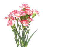 Bouquet of carnation Stock Images