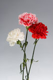 Bouquet of carnations Stock Images