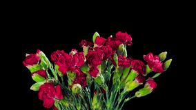 Bouquet of Carnations bloom and fade, time-lapse with alpha channel stock video