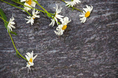 Bouquet of Chamomile flowers lying on the stone slabs, marble plate with white and yellow flower Royalty Free Stock Images