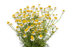 Bouquet of chamomile medicinal Royalty Free Stock Photos
