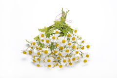 Bouquet of Chamomile. On a white background Stock Image
