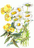 Bouquet  chamomile  wildflower  watercolor Stock Image