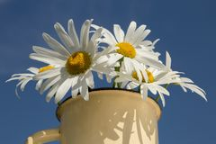 Bouquet of chamomiles on blue sky background royalty free stock photography