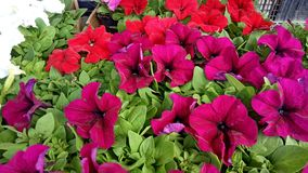 Red flowers on Bayloni market in Belgrade royalty free stock photo