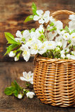 Bouquet of cherry in a basket Stock Photography