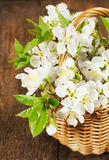 Bouquet of cherry in a basket Stock Photos