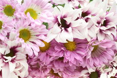 Bouquet of chrysanthemum Stock Photography