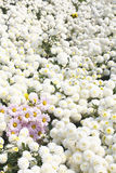 Bouquet of chrysanthemum and Gerbera.  Stock Photo