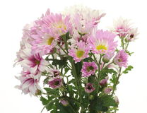 Bouquet of chrysanthemum Stock Images