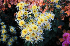 Bouquet chrysanthemums. Beauty bouquet from white chrysanthemums Stock Images