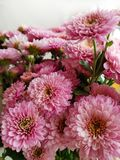 Bouquet of chrysanthemums. Fall flowers. Close-up. Blooming pink chrysanthemum. Background white stock photo