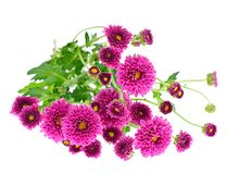 Bouquet of chrysanthemums isolated on white Stock Photos
