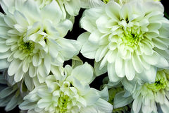 Bouquet of chrysanthemums Royalty Free Stock Photography
