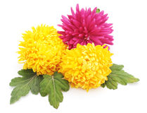 Bouquet of chrysanthemums. Stock Photos