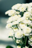 Bouquet of chrysanthemums. Bouquet of white beautiful chrysanthemums Stock Photography