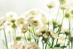 Bouquet of chrysanthemums. Bouquet of white beautiful chrysanthemums Royalty Free Stock Photography