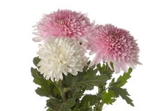 Bouquet of chrysanthemums on white isolated background. autumn flowers royalty free stock photos