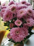 Bouquet of chrysanthemums on windowsill. Fall flowers. Close-up. Blooming pink chrysanthemum. Background white stock photos