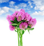 Bouquet of clover flowers Royalty Free Stock Photo