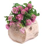 Bouquet of clover on a tree stump isolated on white Royalty Free Stock Photo