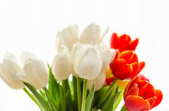 Bouquet of colorful blurry spring tulips on white background Stock Photography