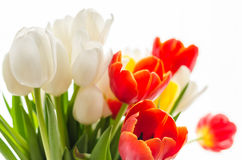 Bouquet of colorful blurry spring tulips on white background Royalty Free Stock Photos