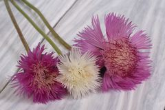 Bouquet of colorful cornflowers Royalty Free Stock Photography