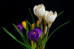 Bouquet of colorful crocuses on a black background. Bouquet of colorful crocuses, white, yellow, purple on a black background Stock Image