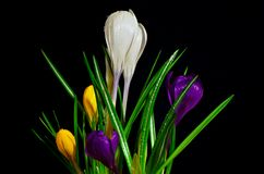 Bouquet of colorful crocuses on a black background. Bouquet of colorful crocuses, white, yellow, purple on a black background Stock Photography