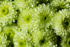 A bouquet of colorful green chrysanthemum. Close up.  Royalty Free Stock Photos