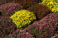 Bouquet of colorful mums stock image